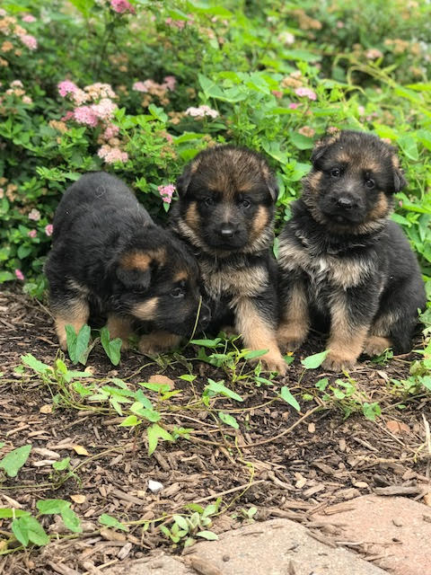 Walters K9 Kennels Puppies